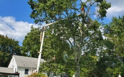 Cheshire, CT | Tree Removal Company | Stump Grinding and Removal Service | Best Tree Services Near Me